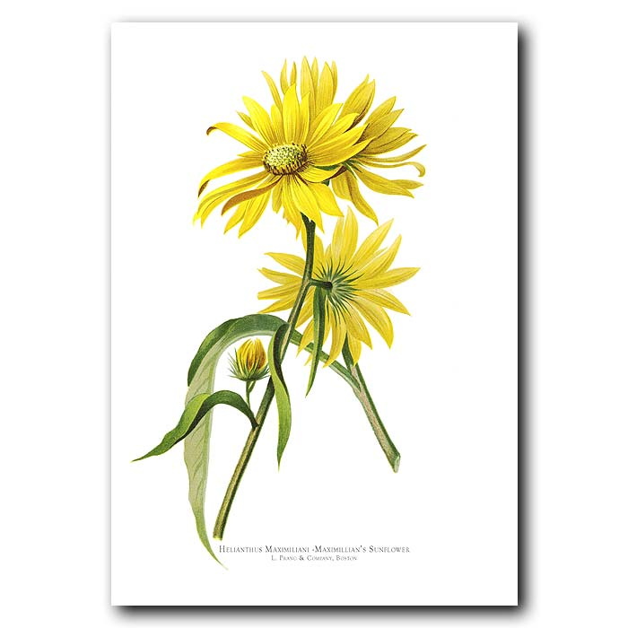 Fine art print for sale. Maximillian's Sunflower (Helianthus Maximiliani)