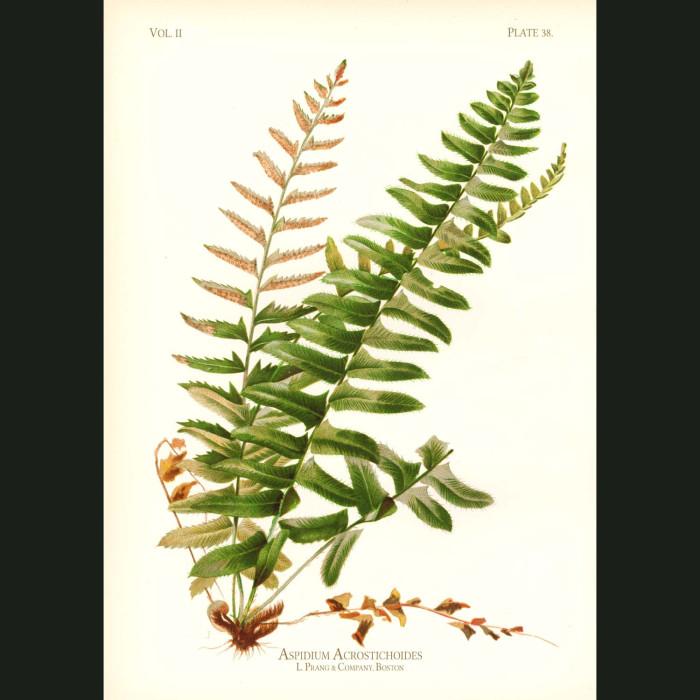 Fine art print for sale. Christmas Shield Fern (Aspidium Acrostichoides)