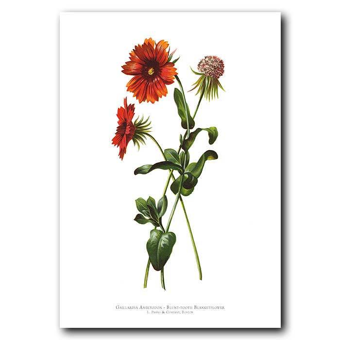 Fine art print for sale. Blunt-Tooth Blanketflower (Gaillardia Amblyodon)