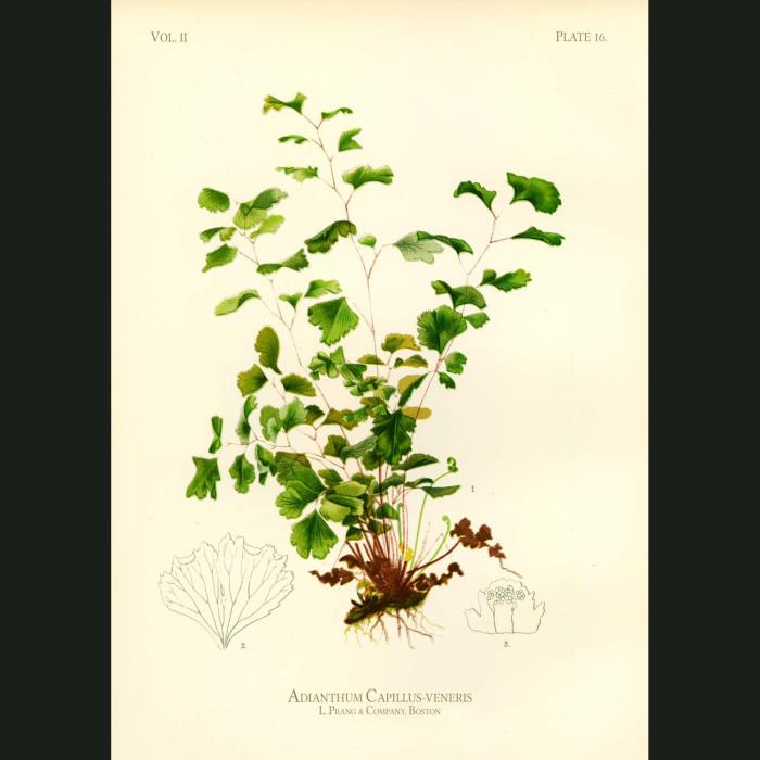 Fine art print for sale. Black Maidenhair Fern (Adiantum Capillus-Veneris)