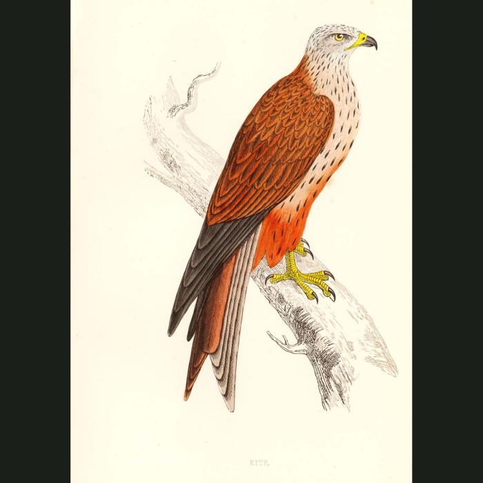 Fine art print for sale. Kite Bird