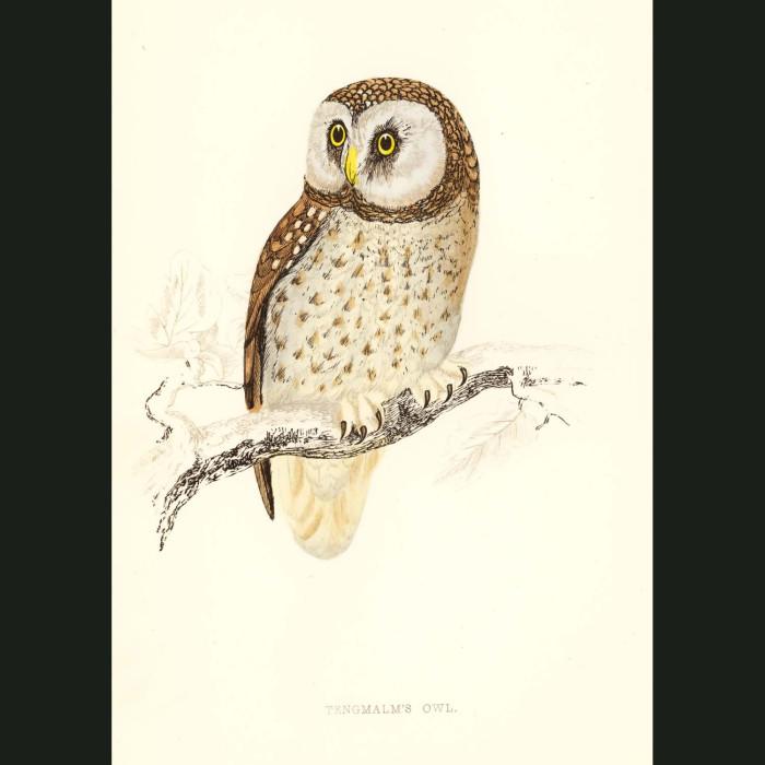 Fine art print for sale. Tengmalm's Owl