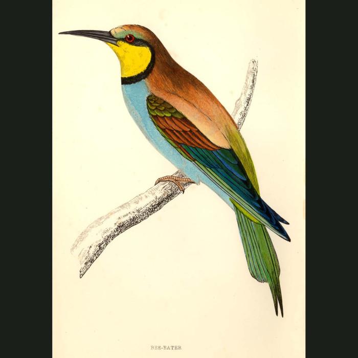 Fine art print for sale. Bee Eater