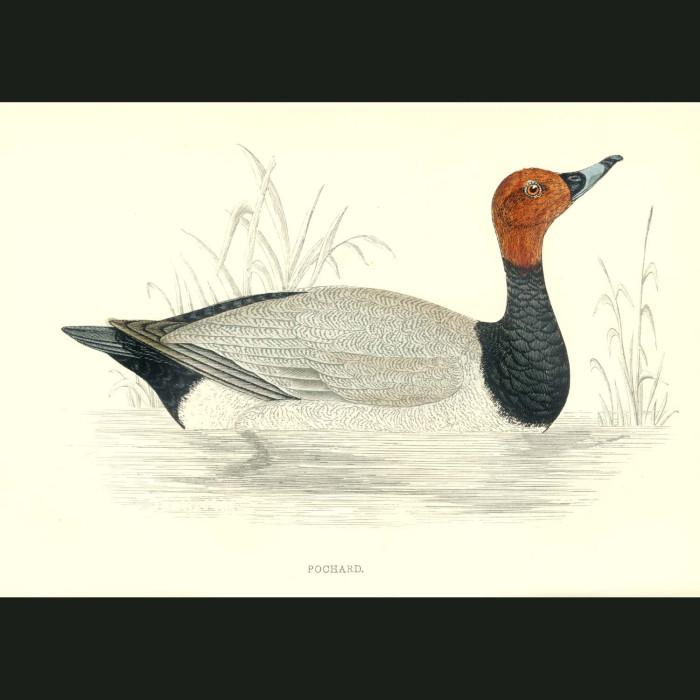 Fine art print for sale. Pochard Duck