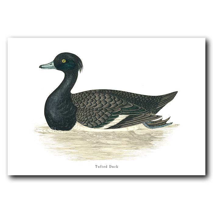 Fine art print for sale. Tufted Duck