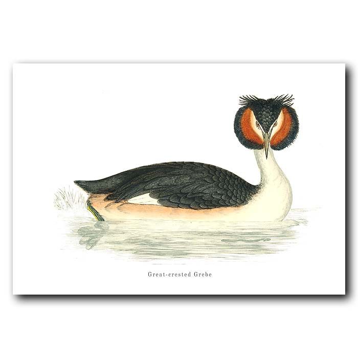 Fine art print for sale. Great Crested Grebe