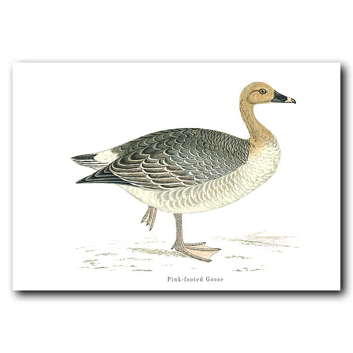 Fine art print for sale. Pink-Footed Goose