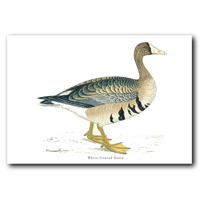 Fine art print for sale. White-Fronted Goose
