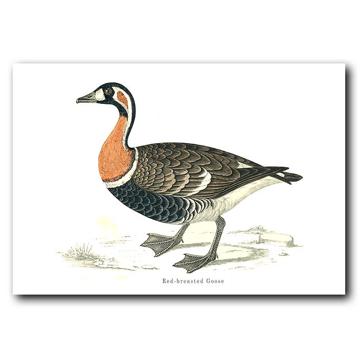 Fine art print for sale. Red-Breasted Goose