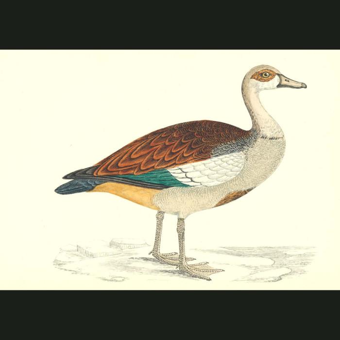 Fine art print for sale. Egyptian Goose