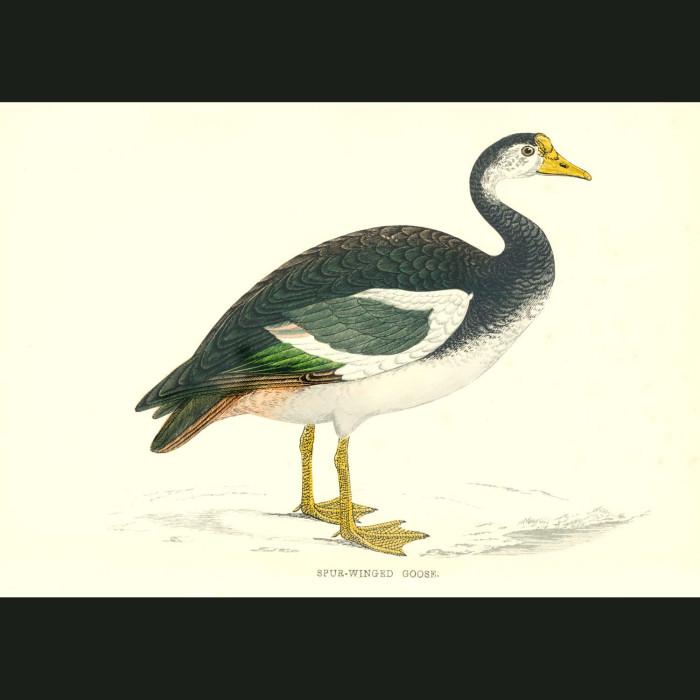 Fine art print for sale. Spur-Winged Goose