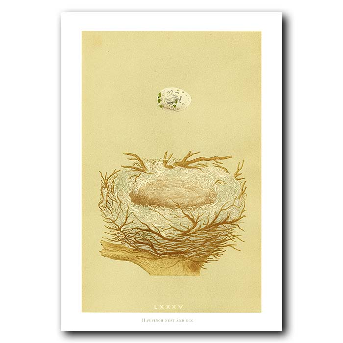 Fine art print for sale. Hawfinch Nest And Egg