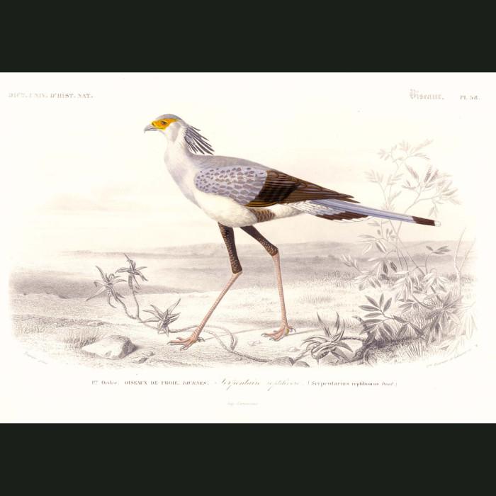 Fine art print for sale. Secretary Bird By Charles Orbigny