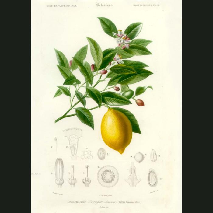 Fine art print for sale. Lemon And Leaf