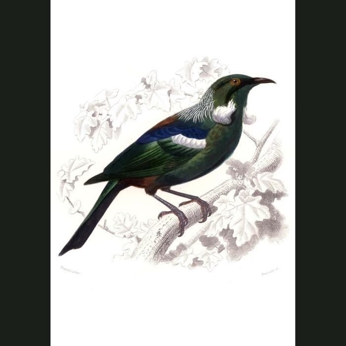 Fine art print for sale. Tui Bird