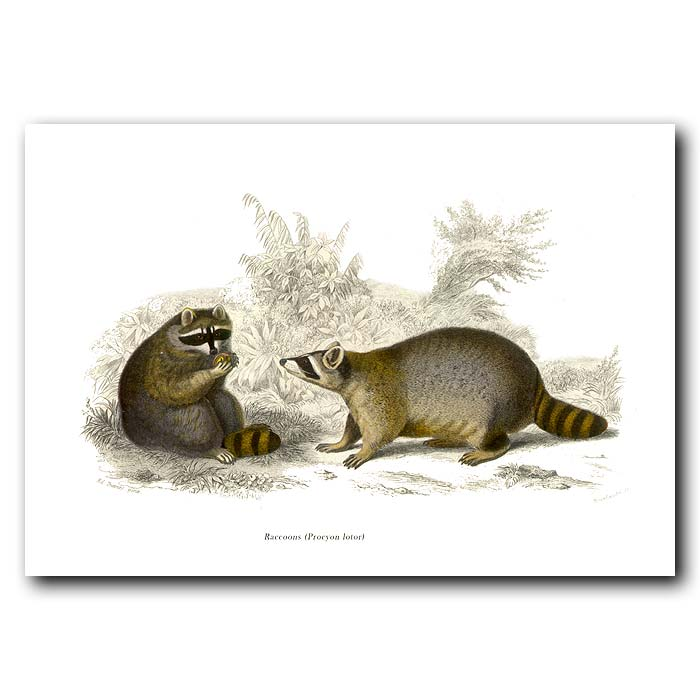 Fine art print for sale. Raccoons