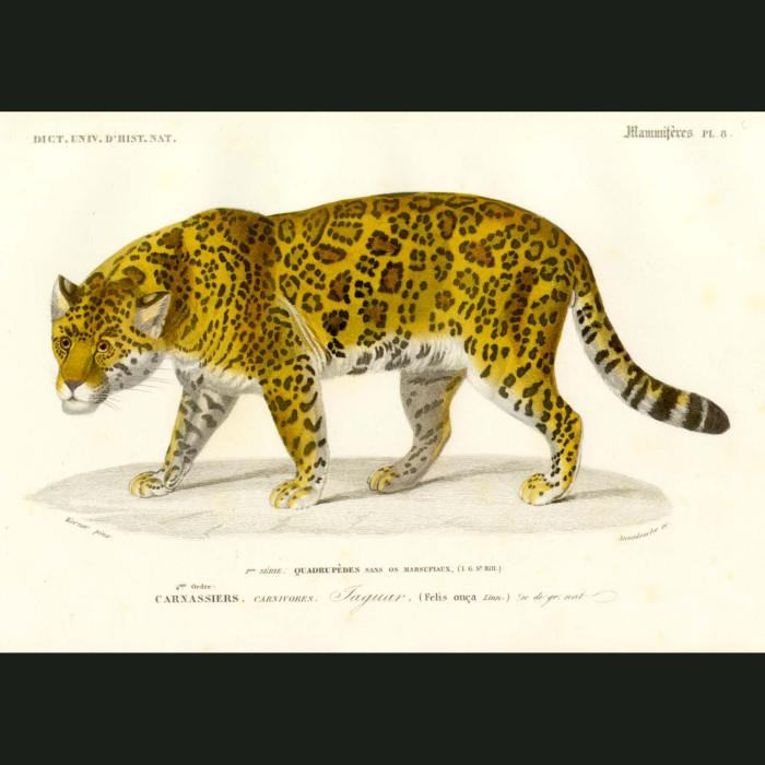 Fine art print for sale. Jaguar Cat