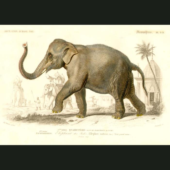 Fine art print for sale. Indian Elephant