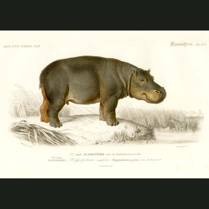 Fine art print for sale. Hippopotamus