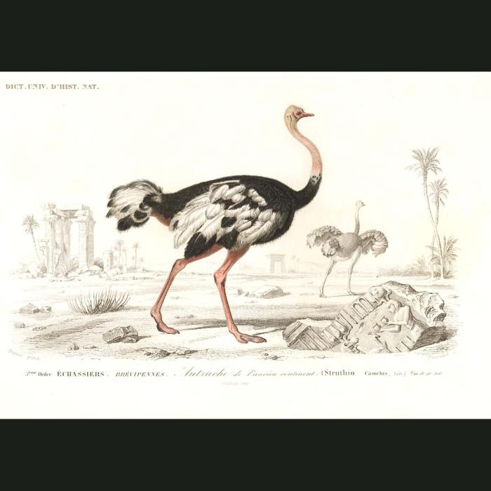 Fine art print for sale. Ostrich