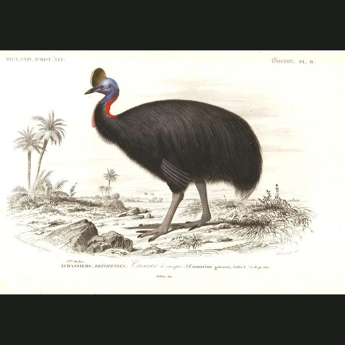 Fine art print for sale. Cassowary Bird