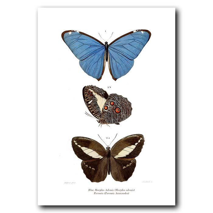 Fine art print for sale. Morpho Butterfly