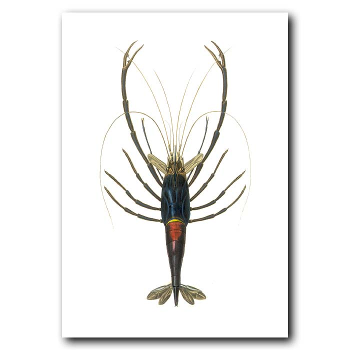 Fine art print for sale. Ornamental Shrimp
