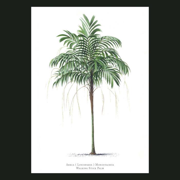 Fine art print for sale. Walking Stick Palm Tree