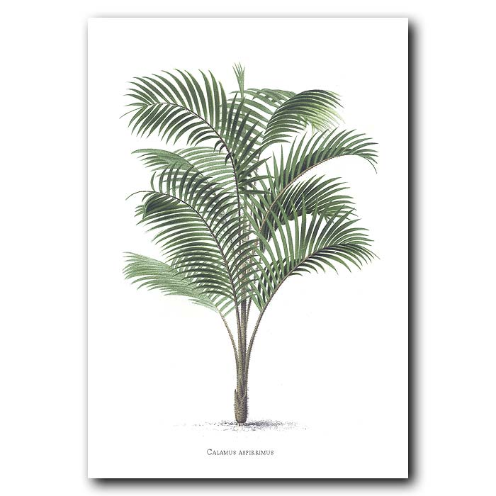 Fine art print for sale. Calamus Palm Tree