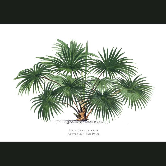 Fine art print for sale. Fan Palm Tree