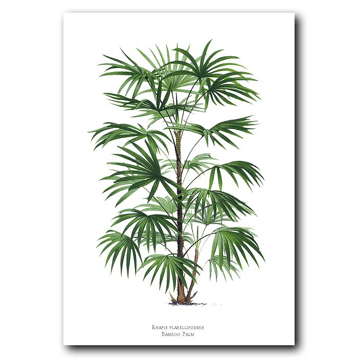 Fine art print for sale. Bamboo Palm Tree