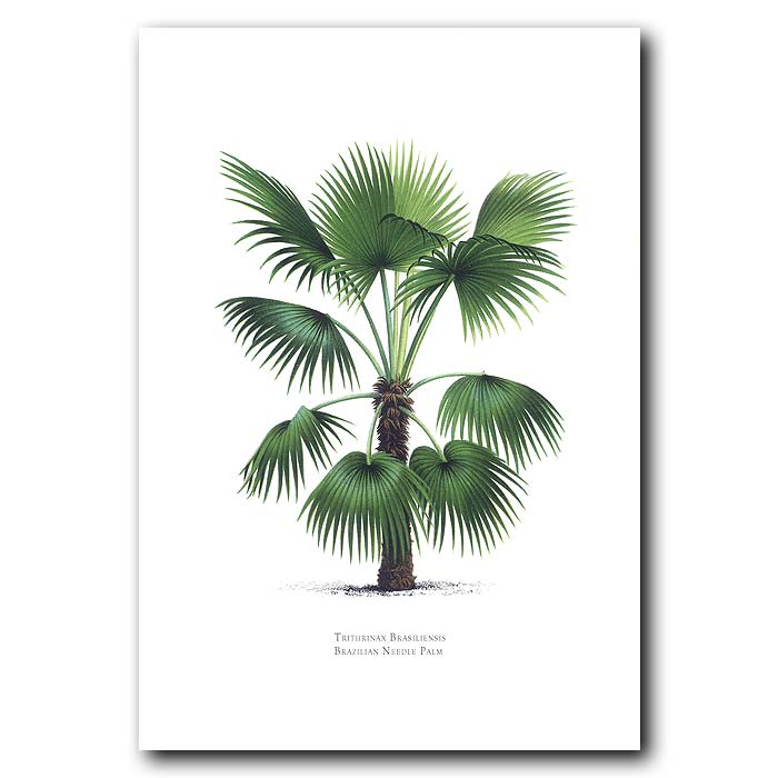 Fine art print for sale. Brazilian Needle Palm Tree: Trithrinax brasiliensis