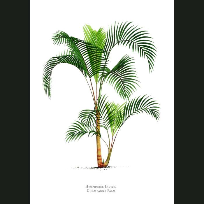Fine art print for sale. Champagne Palm Tree