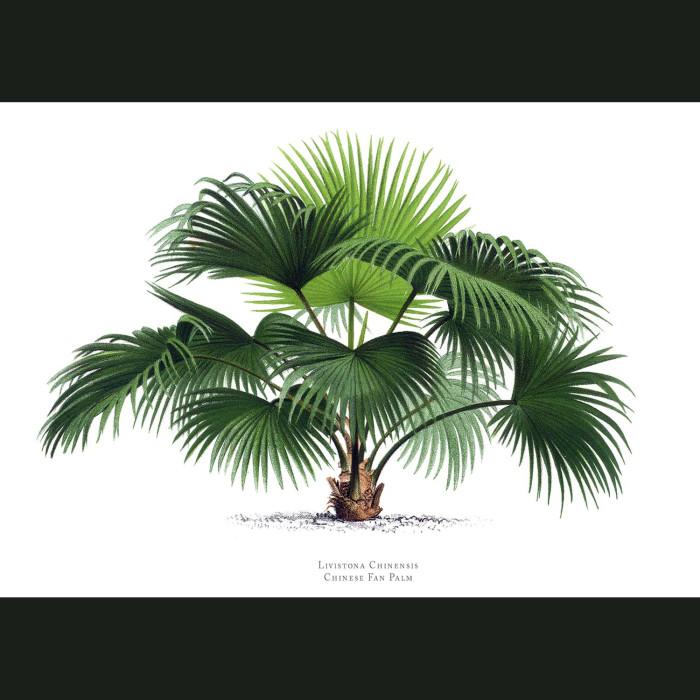 Fine art print for sale. Chinese Fan Palm Tree