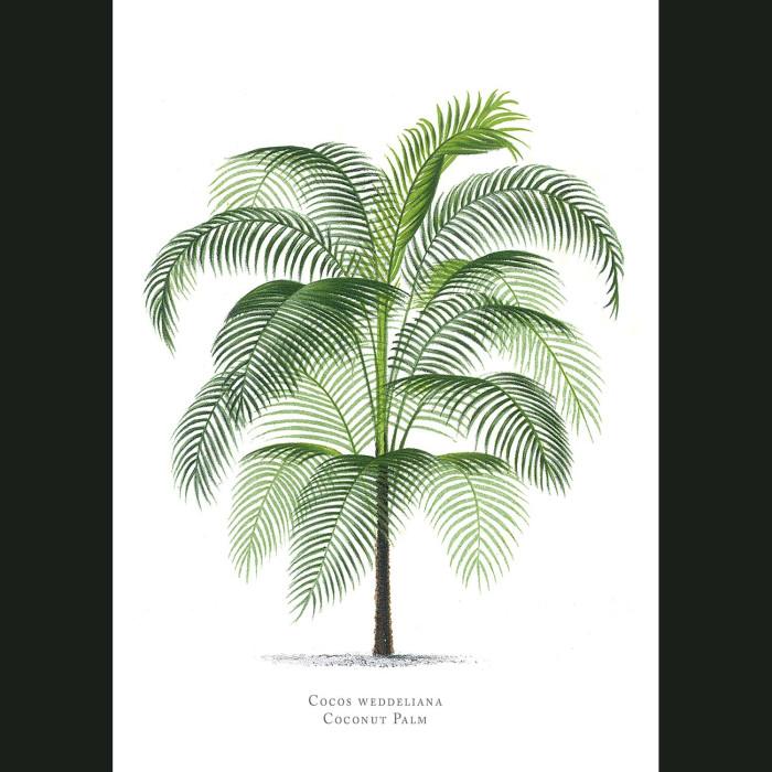 Fine art print for sale. Coconut Palm Tree