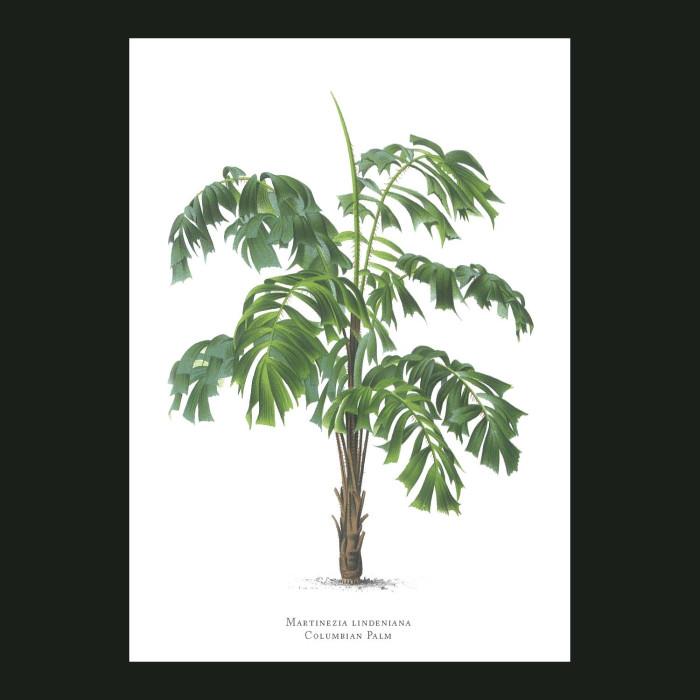 Fine art print for sale. Colombian Palm Tree