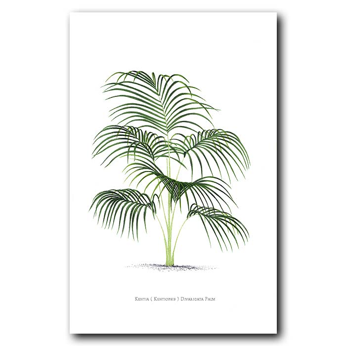 Fine art print for sale. Kentia Palm Tree