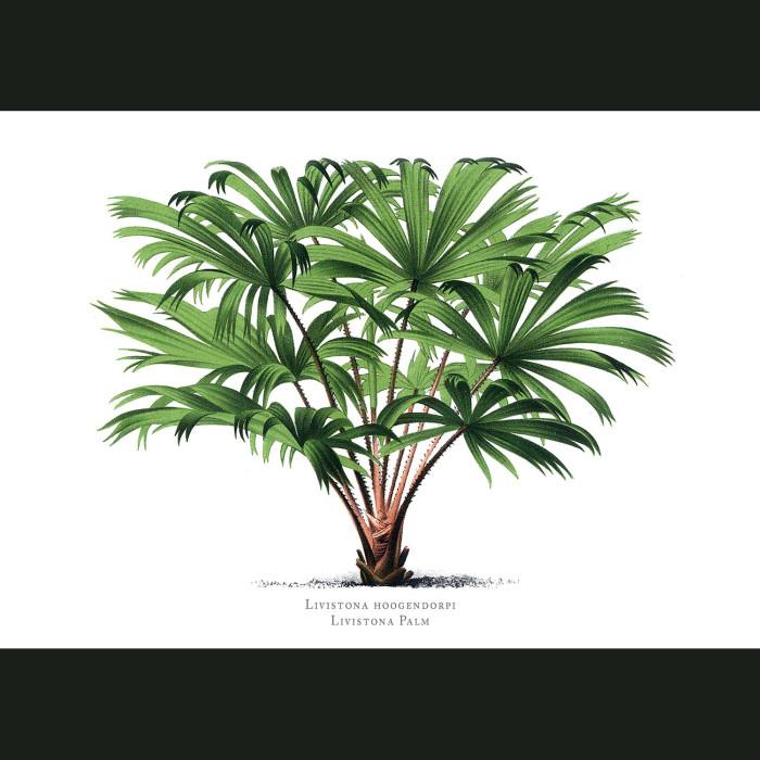 Fine art print for sale. Livistona Palm Tree