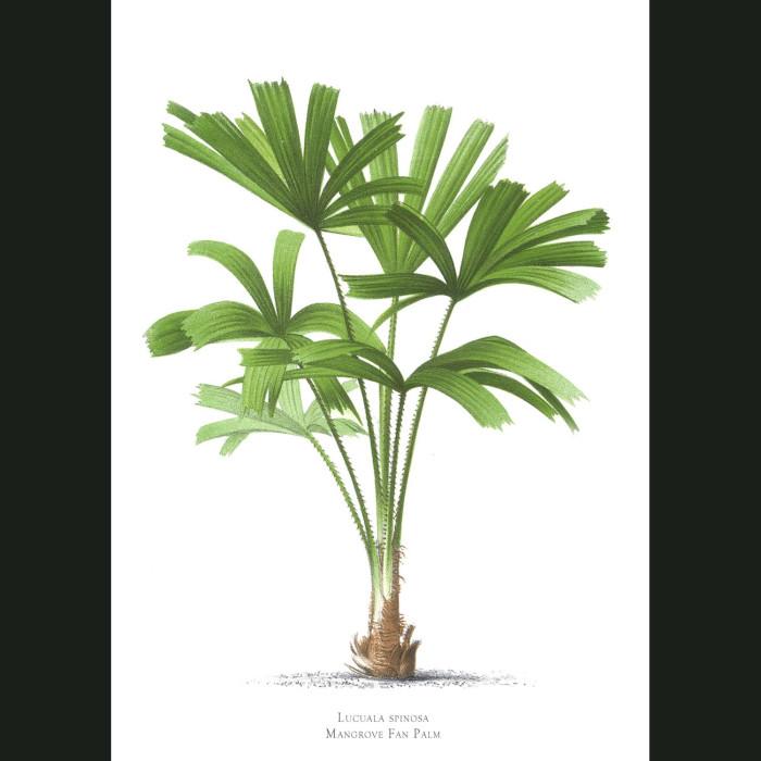 Fine art print for sale. Mangrove Fan Palm Tree