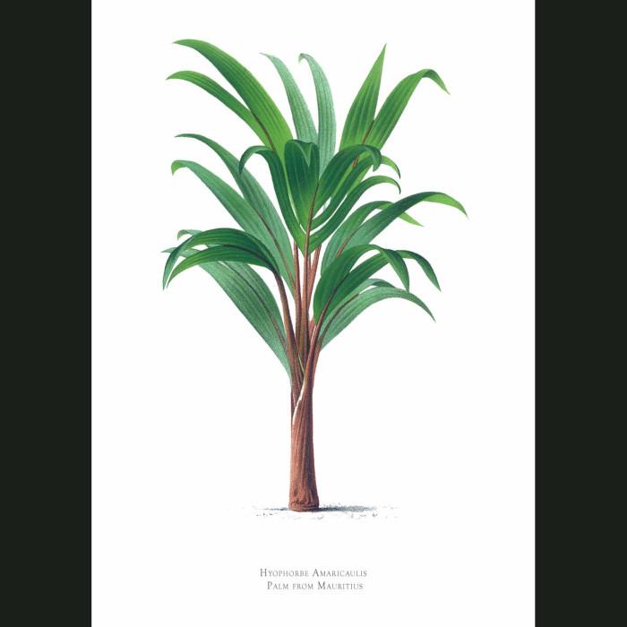 Fine art print for sale. Mauritius Palm Tree