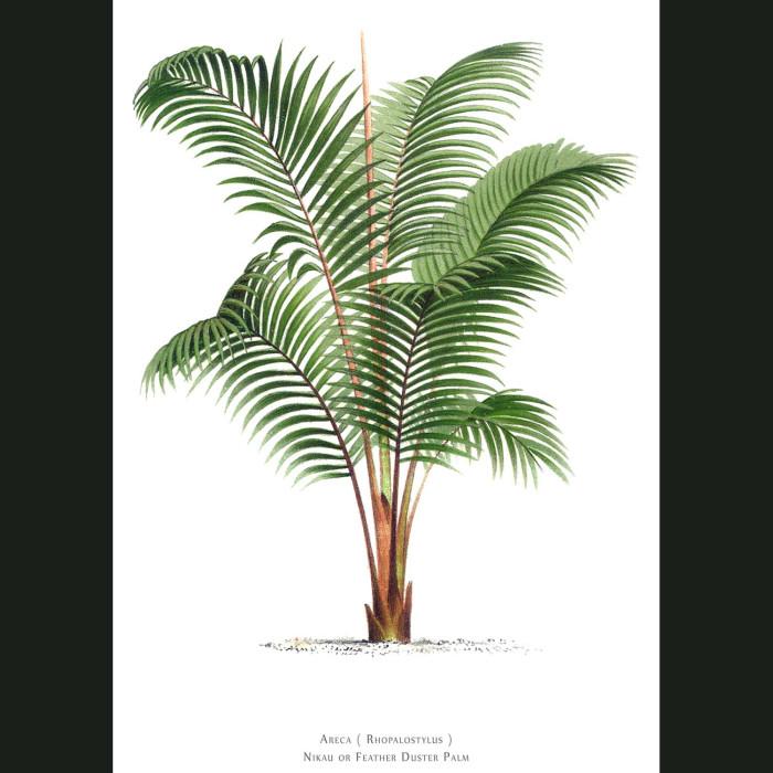 Fine art print for sale. Nikau Palm Tree From New Zealand