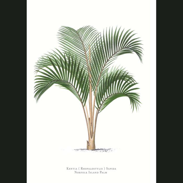 Fine art print for sale. Norfolk Island Kentia Palm Tree