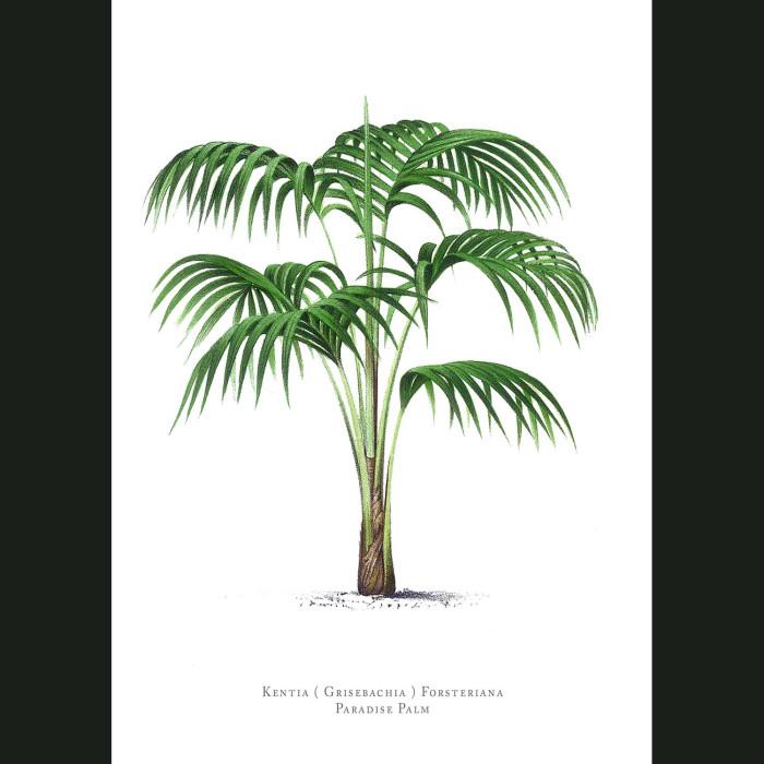 Fine art print for sale. Paradise Kentia Palm Tree