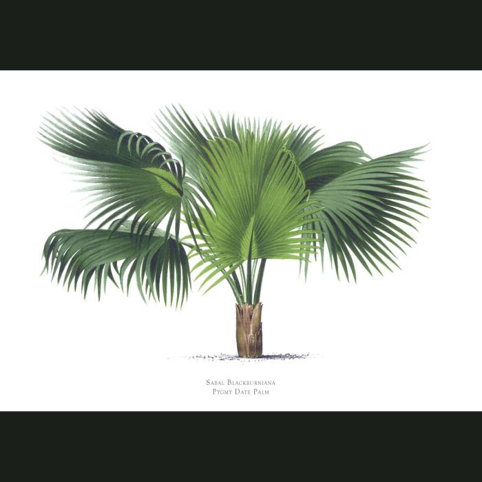 Fine art print for sale. Pygmy Date Palm Tree