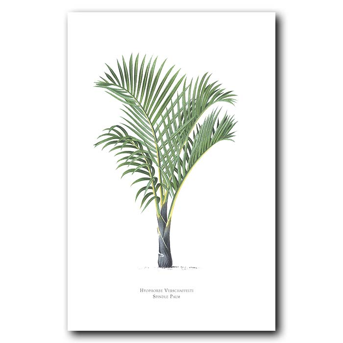 Fine art print for sale. Spindle Palm Tree