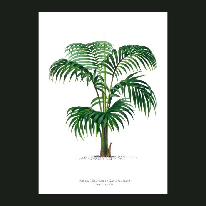 Fine art print for sale. Umbrella Palm Tree