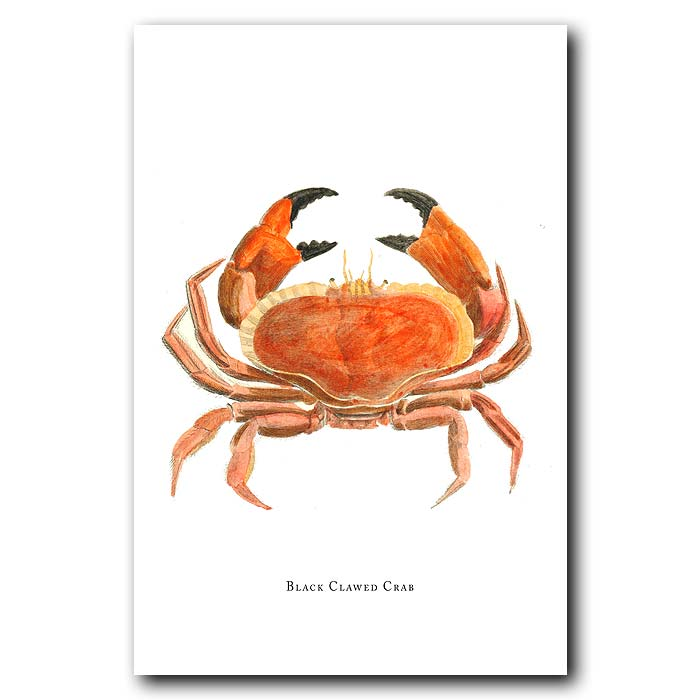 Fine art print for sale. Black Clawed Crab