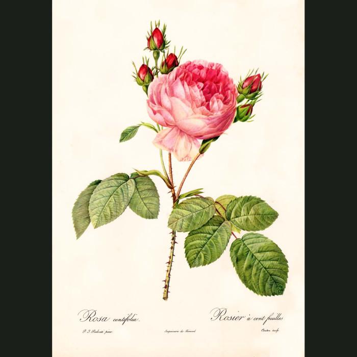 Fine art print for sale. Rose. Rosa Centifolia