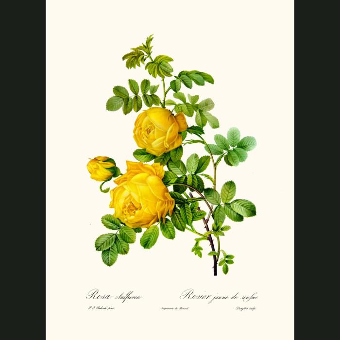 Fine art print for sale. Rose. Rosa Sulfuria