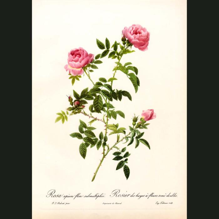 Fine art print for sale. Rose. Rosa Sepium Flore